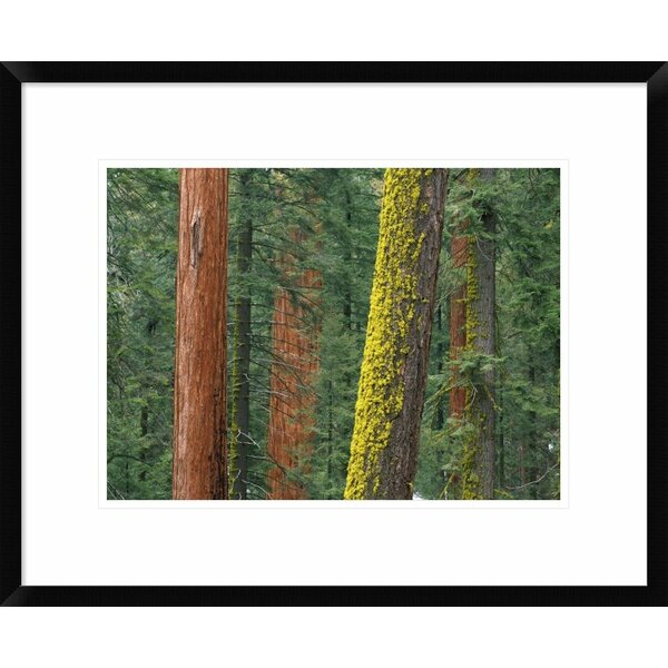 Global Gallery Giant Sequoia Trees In Grant Grove Sequoia National Park California By Tim Fitzharris Framed Photographic Print Wayfair
