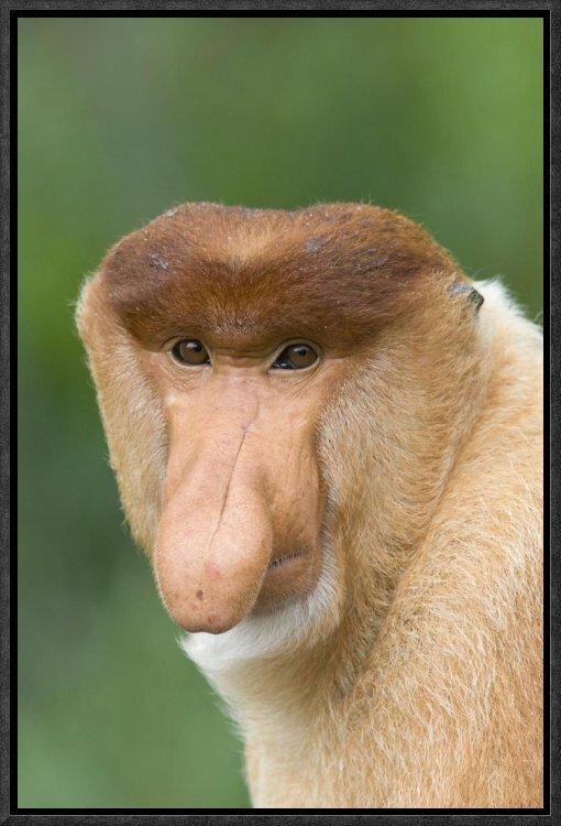 East Urban Home Proboscis Monkey Male Framed Photographic Print On Canvas Wayfair