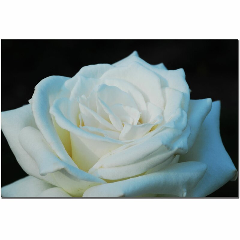 'White Rose Beauty 2' by Kurt Shaffer Photographic Print on Wapped Canvas