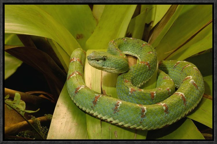 East Urban Home Eyelash Viper Venomous Framed Photographic Print