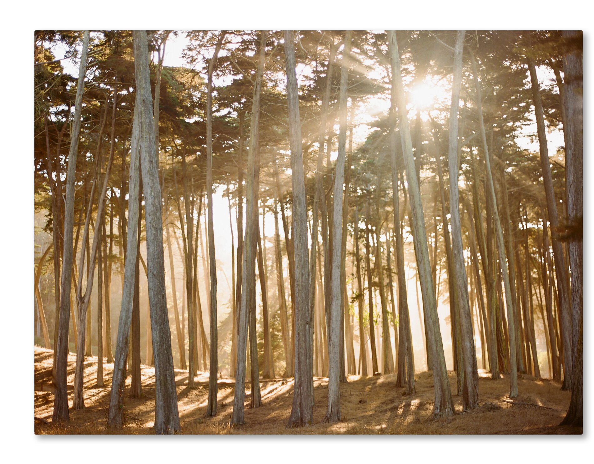 Trademark Art Presidio Sunset By Ariane Moshayedi Photographic Print On Wrapped Canvas Wayfair