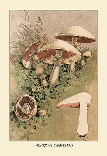 Buyenlarge Agaricus Campestris By W Hamilton Gibson Painting Print Wayfair