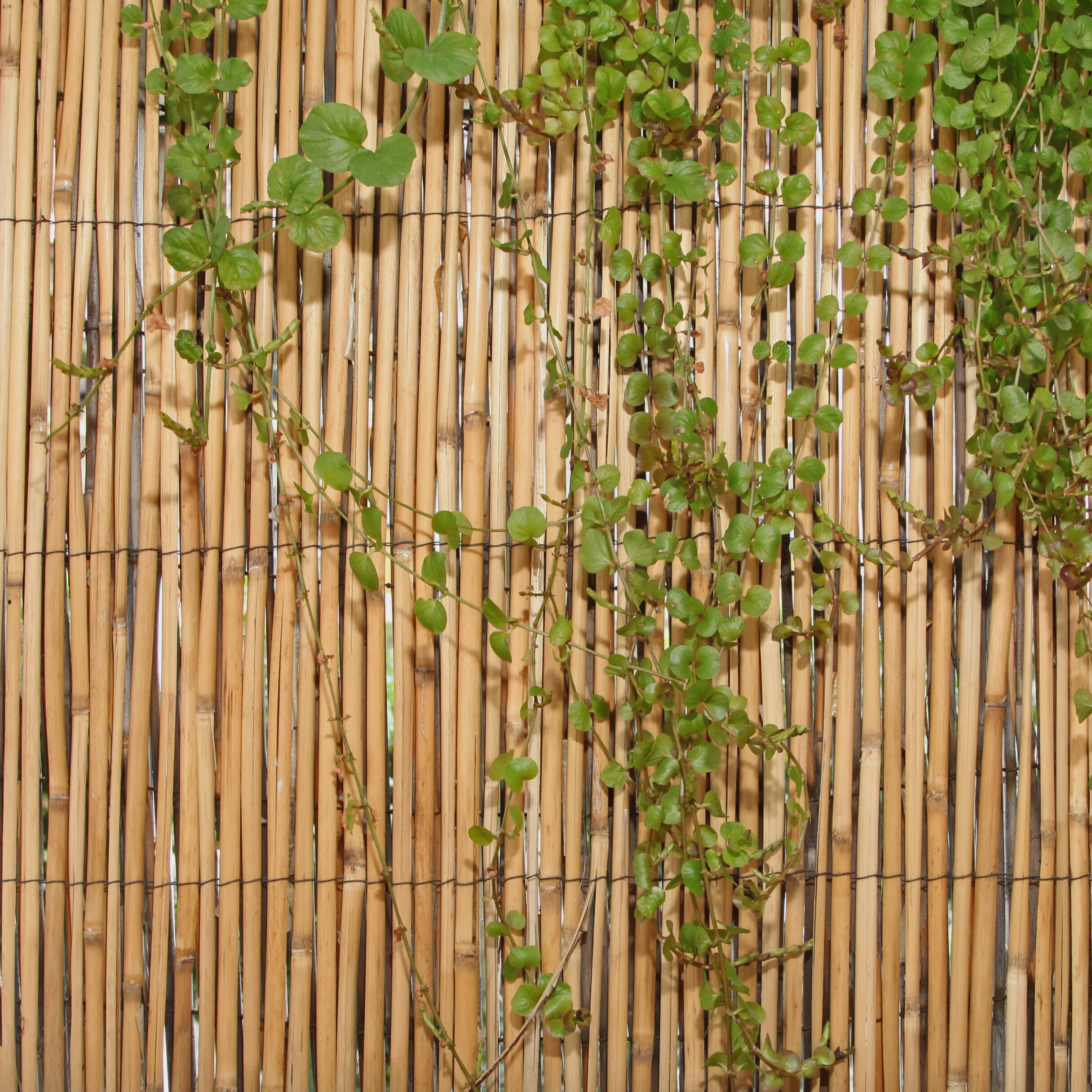 Backyard X Scapes Rolled Bamboo Fencing backyard x-scapes 6 ft. h x 16 ft. w peeled reed fencing & reviews