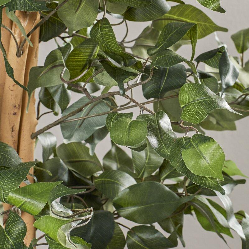 defaultname - Ficus Trees