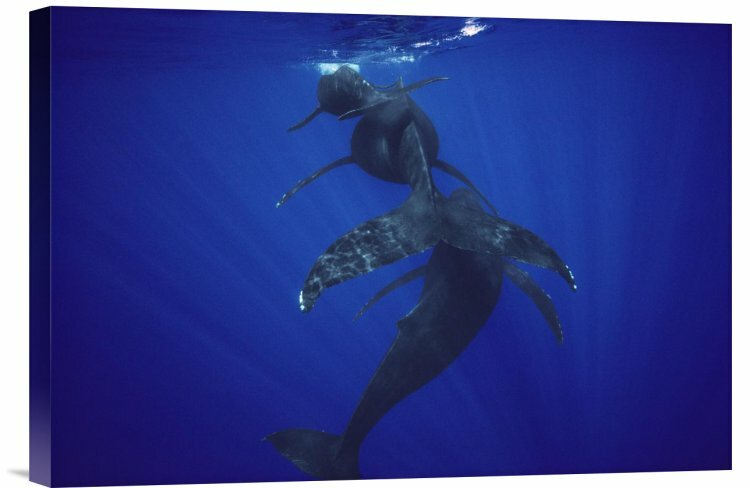 East Urban Home Humpback Whale Calf Mother And Male