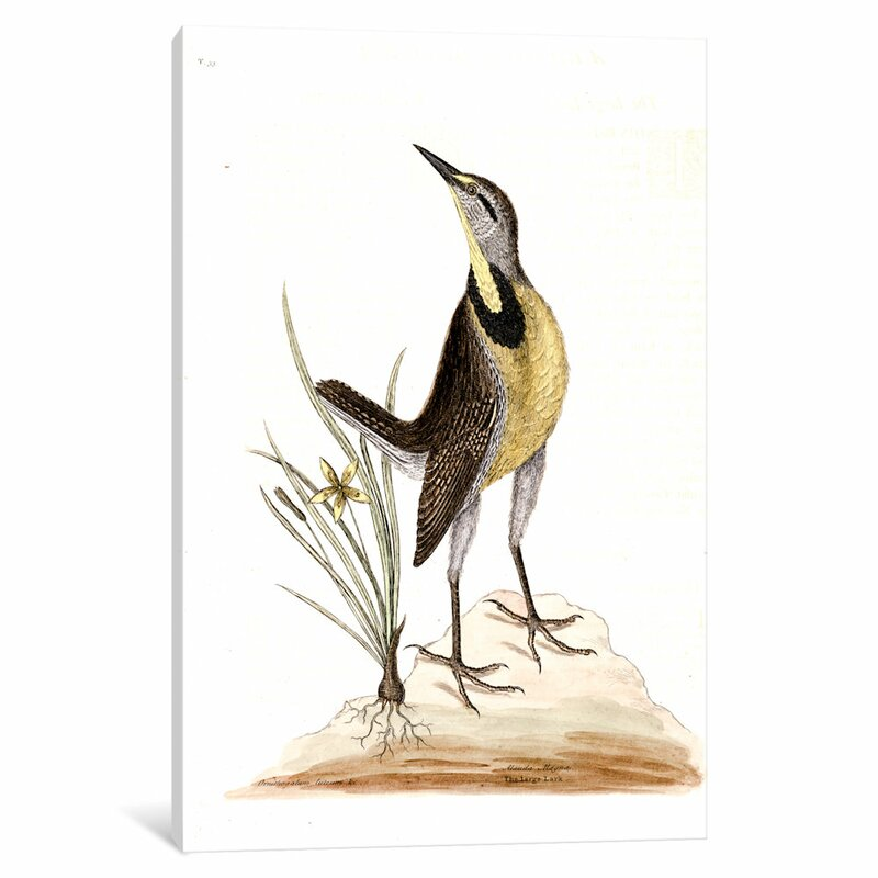 East Urban Home Catesby S Natural History Series Large Lark Little Yellow Starflower Painting Print On Canvas Wayfair