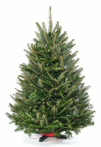 Fresh Cut Christmas Trees.Pre Order 3 Green Fir Freshly Cut Christmas Tree With Stand