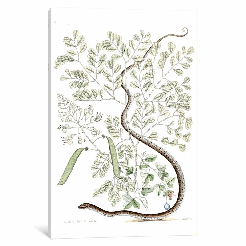 East Urban Home Catesby S Natural History Series Spotted Ribbon Snake Caesalpinia Brasiliensis Painting Print On Canvas Wayfair