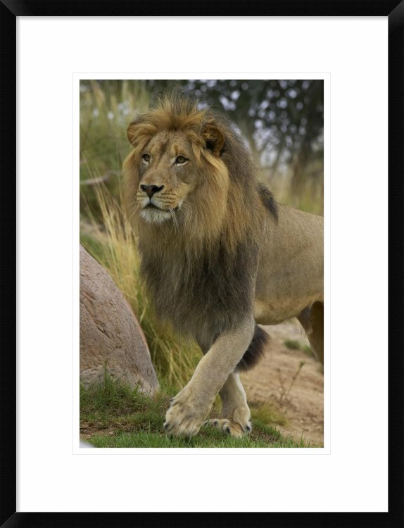 Global Gallery African Lion Portrait Native To Africa By San Diego