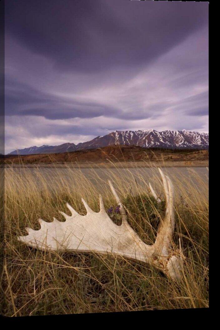 Millwood Pines Canada Bc Yukon Moose Antler And
