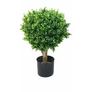 hedyotis topiary in pot set of 2