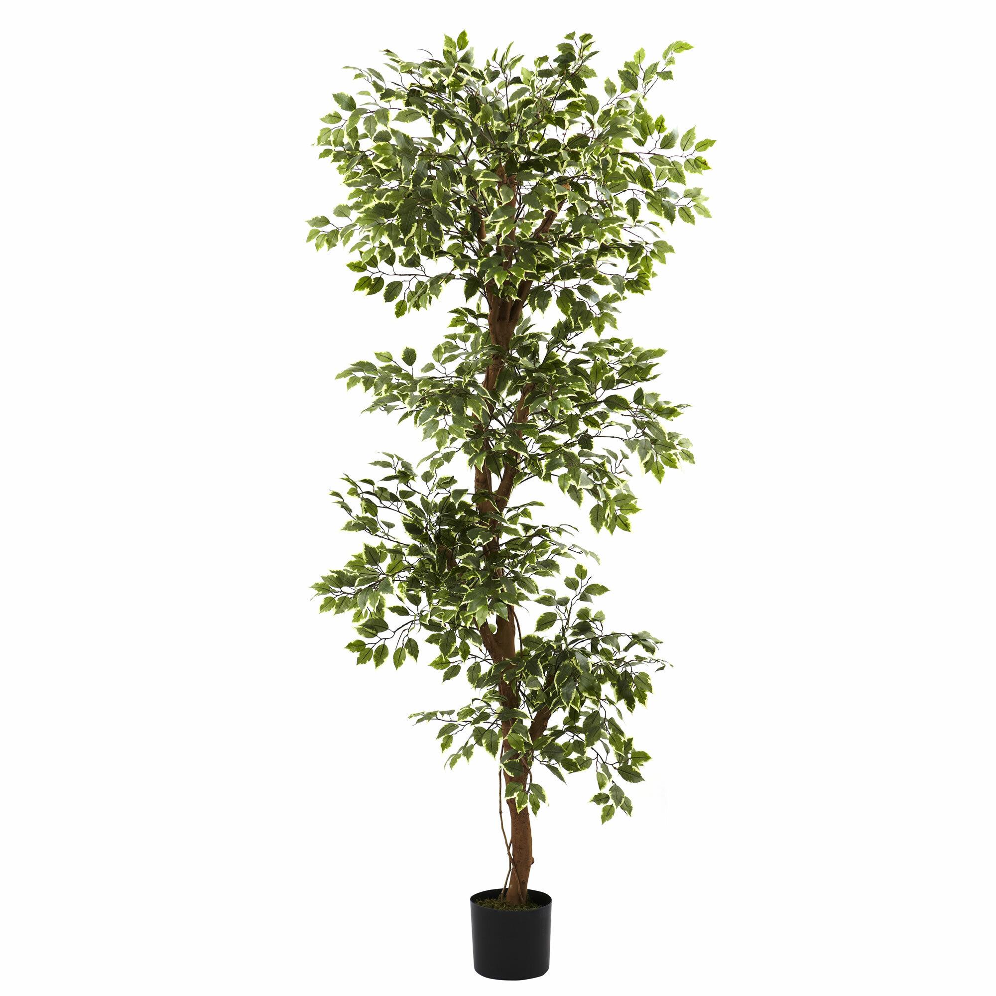 Primrue 66 Variegated Ficus Tree In Pot Reviews Wayfair