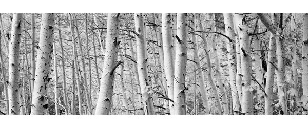 Loon Peak Aspen Trees in a Forest Wall Art on Wrapped Canvas ...