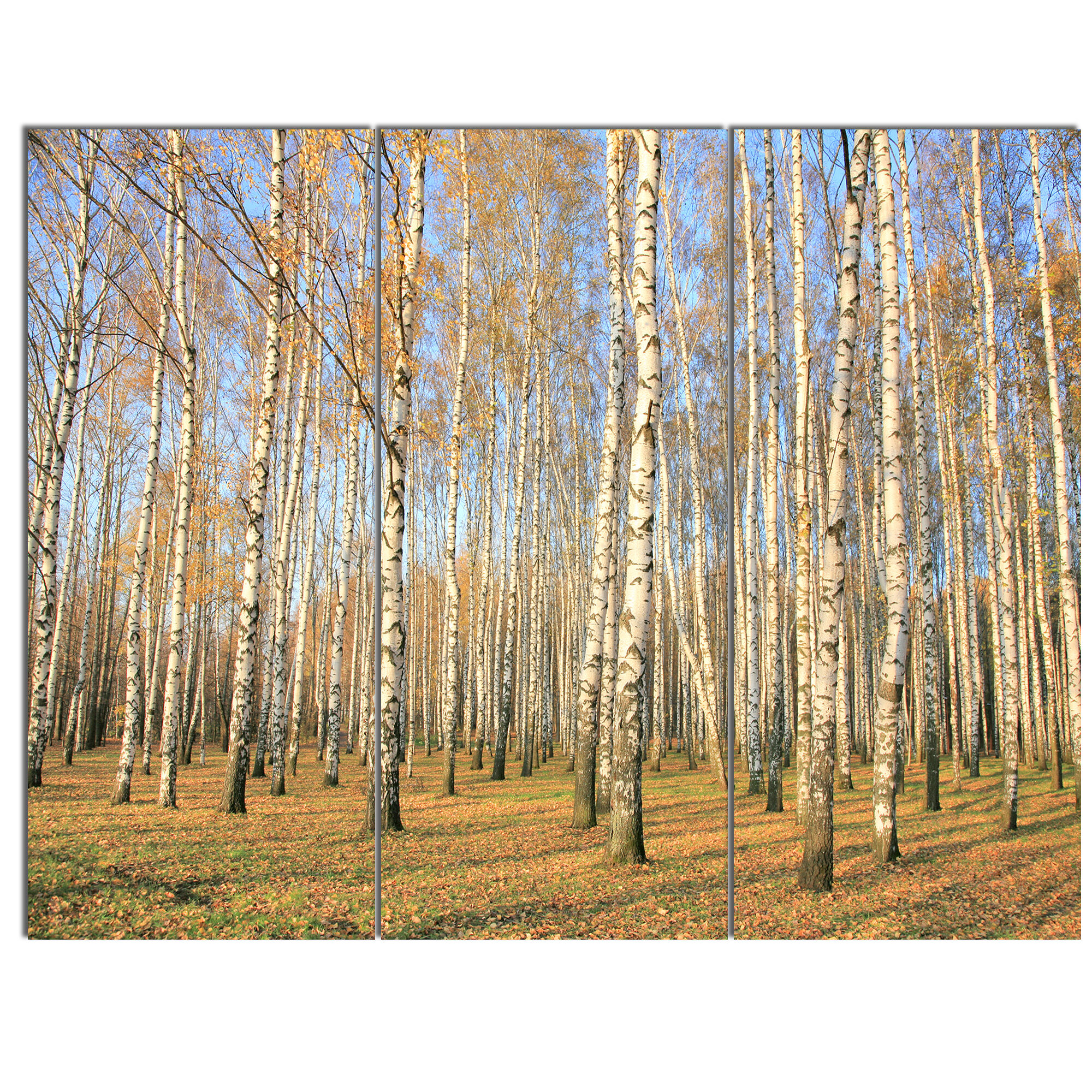 Designart Autumn Birch Grove In Sunlight 3 Piece Photographic Print On Wrapped Canvas Set Wayfair