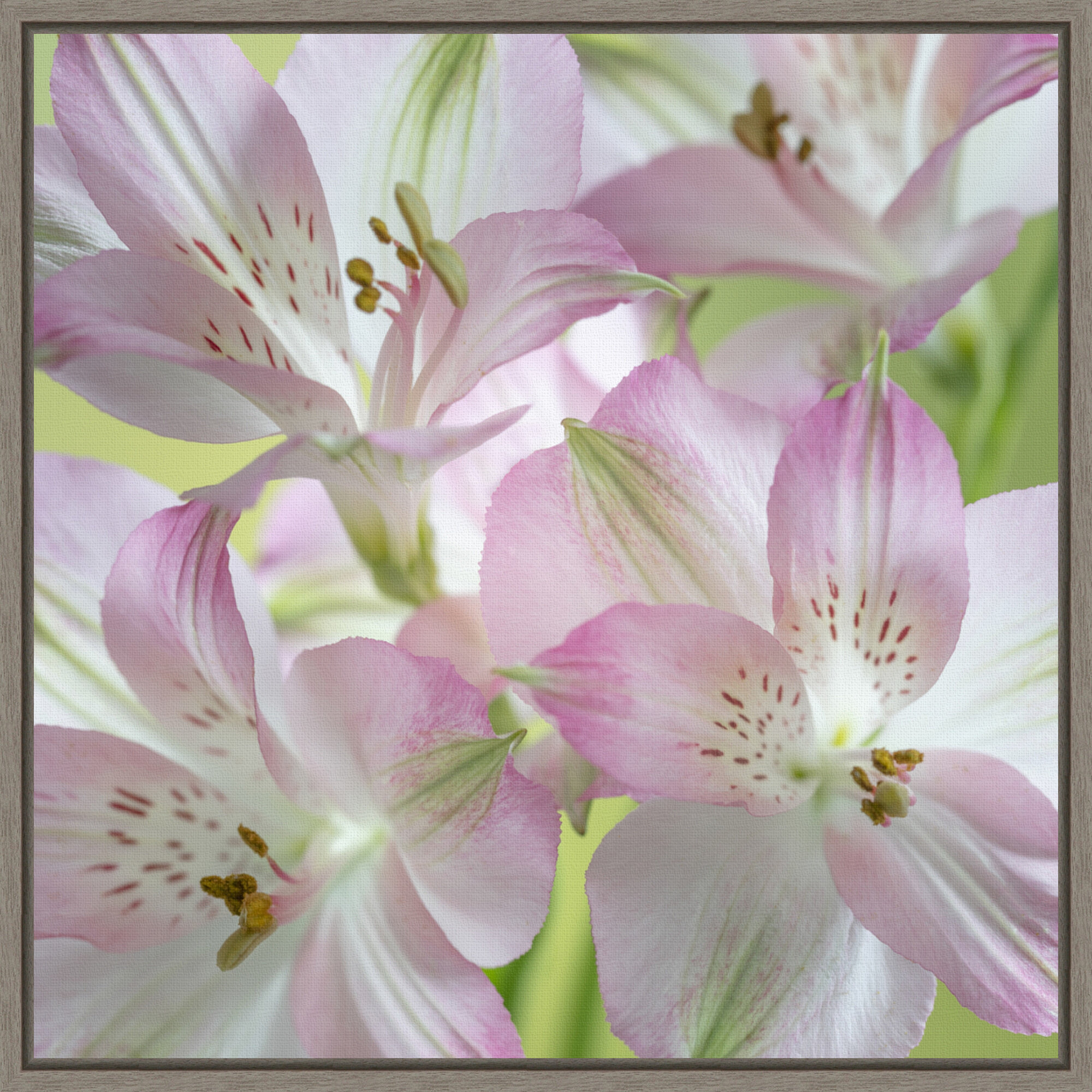 Red Barrel Studio Pink Alstroemeria Blossoms Close Up By Jaynes Gallery Danita Delimont Floater Frame Photograph Print On Canvas Wayfair