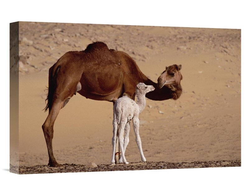 Canvas Picture-Camel in Egypt