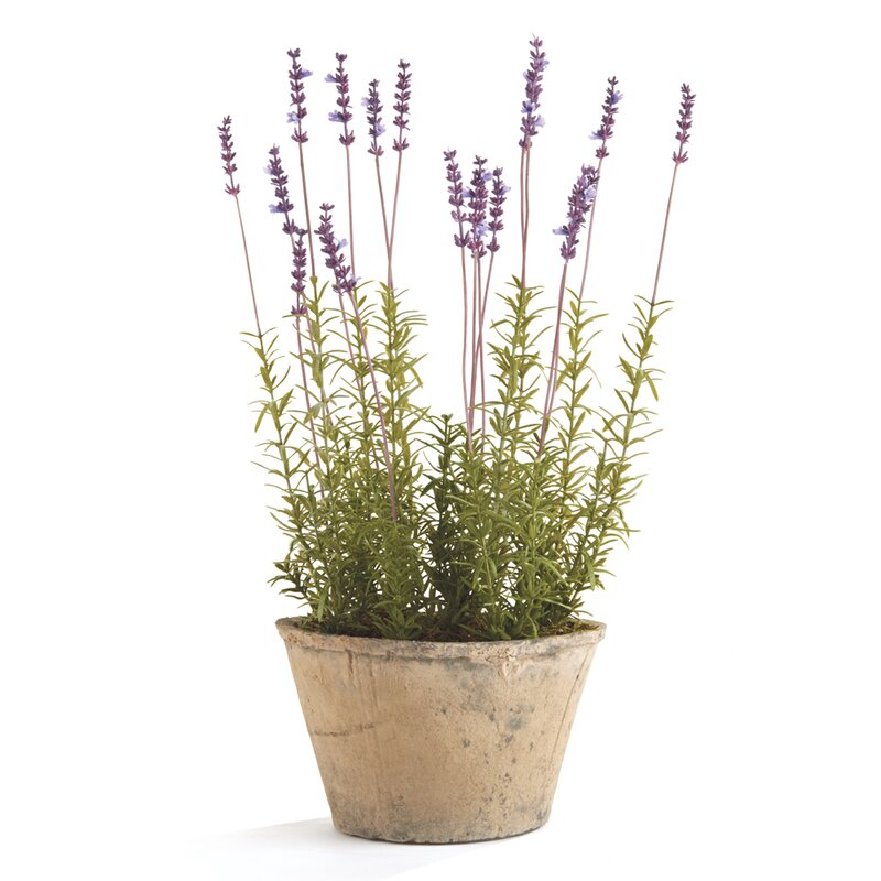 French Lavender Flower in Pot