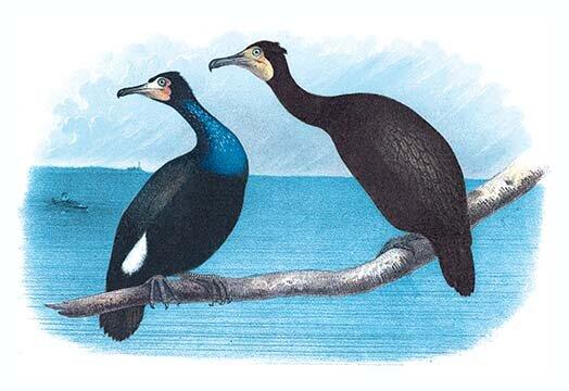 Buyenlarge Violet Green Cormorant And Florida Cormorant By Theodore Jasper Painting Print Wayfair
