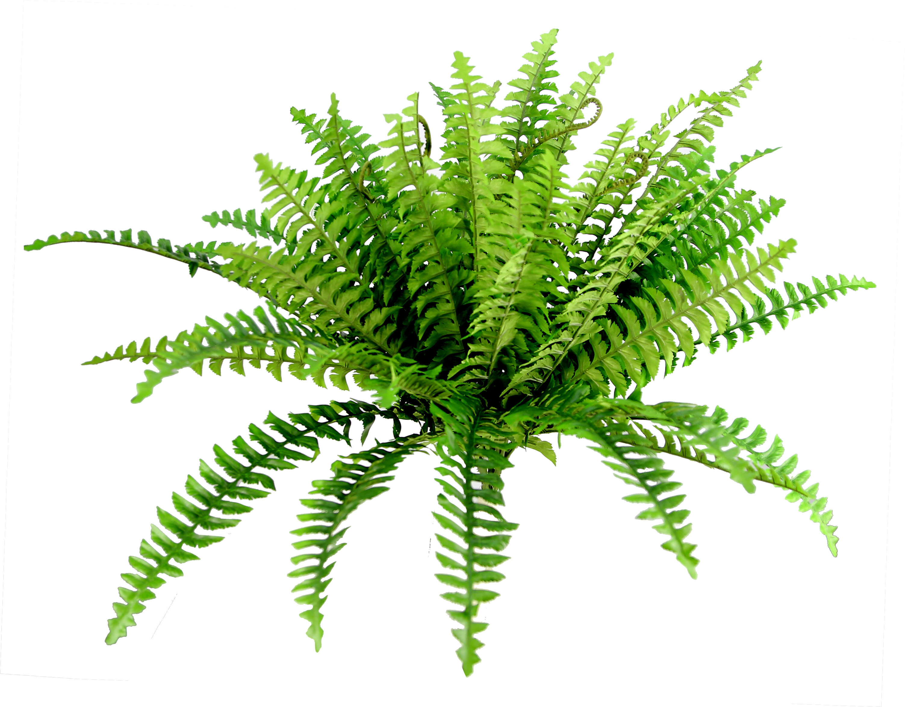 Gracie Oaks Boston Fern Bush Floor Foliage Plant Reviews Wayfair
