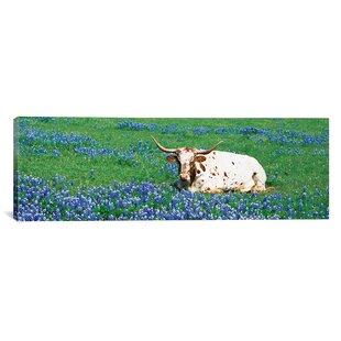 a3cbf3a6517e0 Panoramic Texas Longhorn Cow Sitting on a Field