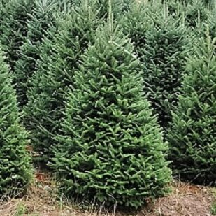 (Pre-Order) 7' Green Fir Tree Freshly Cut Christmas Tree Blue Ridge Christmas Trees