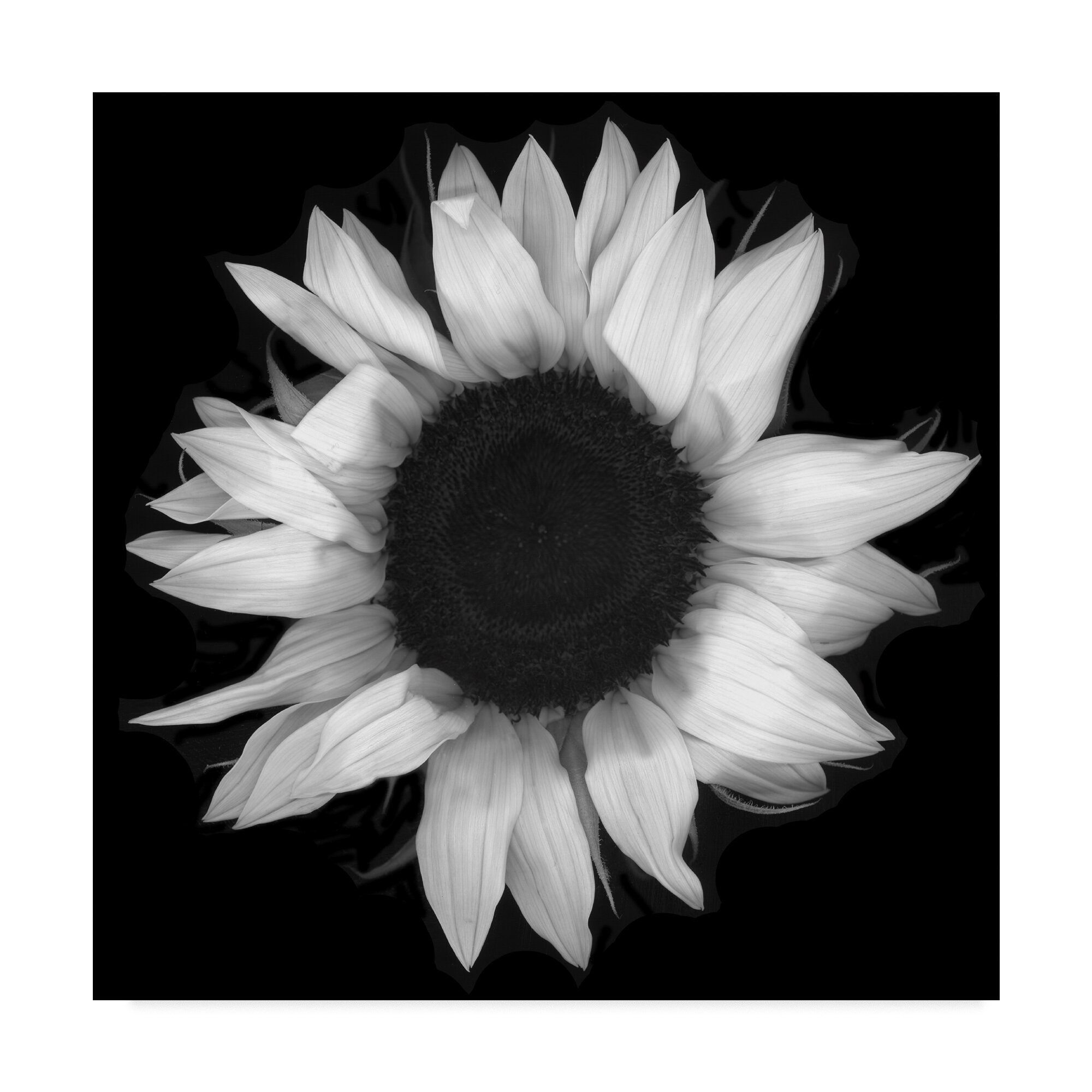 Sunflower 1 black and white graphic art print on wrapped canvas
