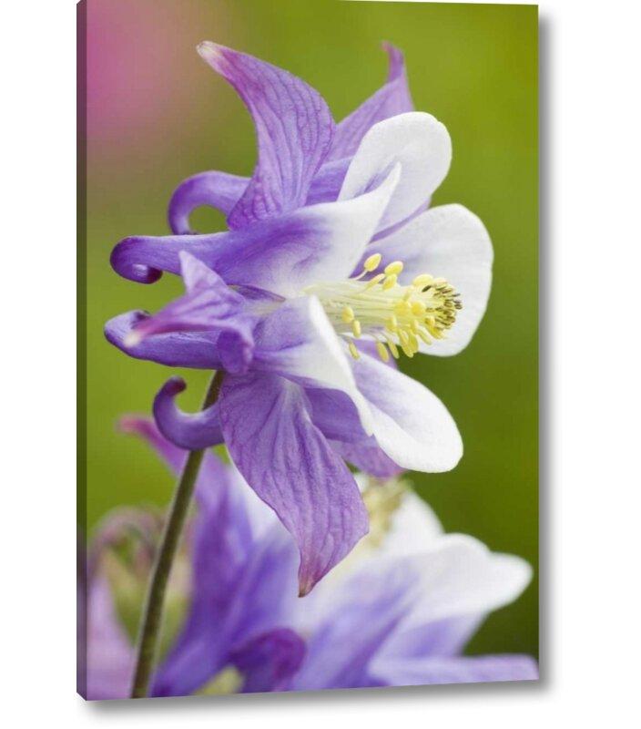 Ebern Designs Columbine Flower Close Up Photographic Print On