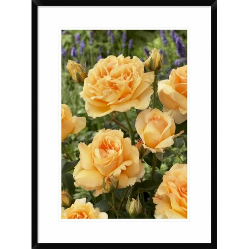 Global Gallery \'Rose Solo Mio Renaissance Variety Flowers\' Framed ...