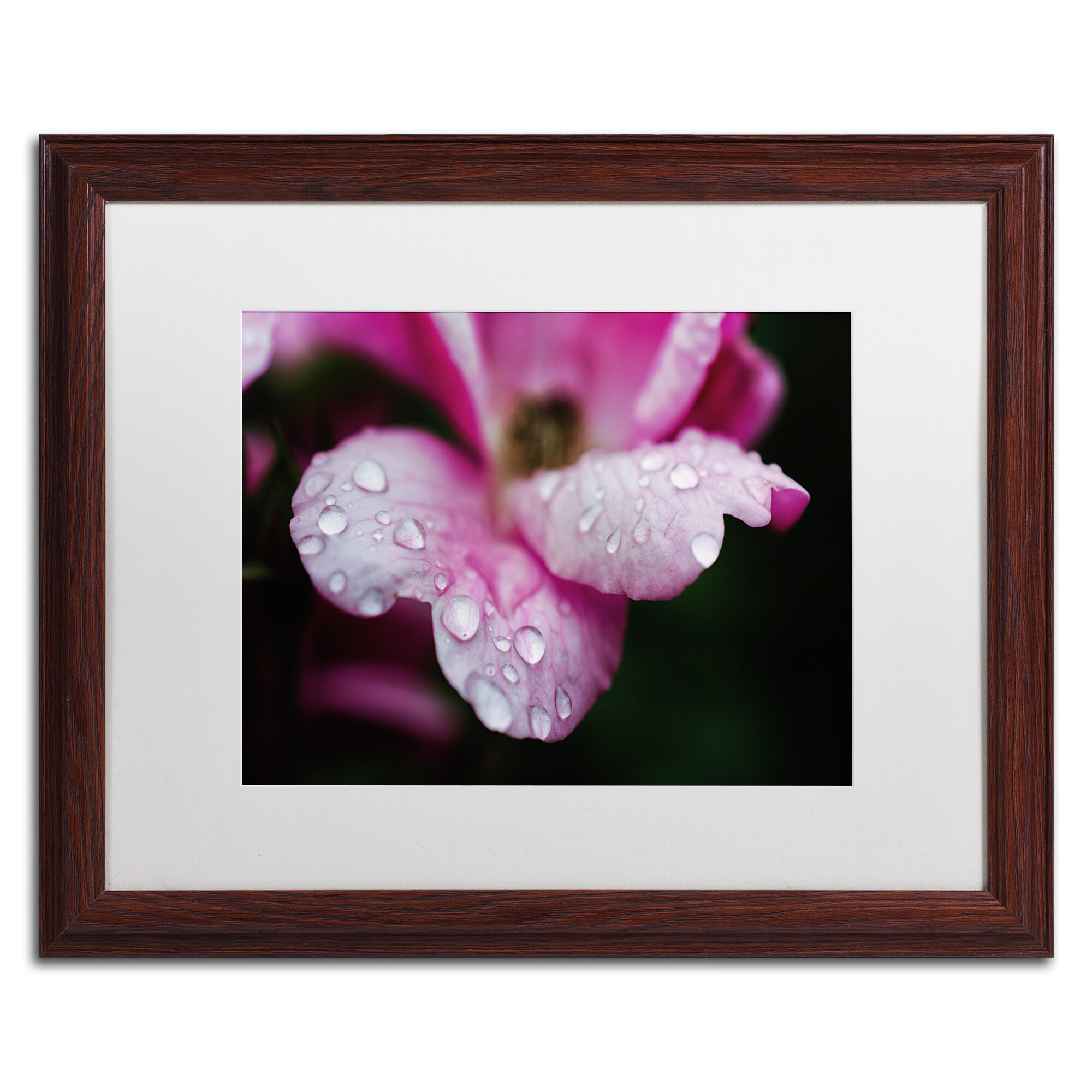 Trademark Art Raindrops On Wild Rose Color Framed Photographic Print Wayfair