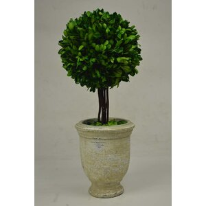 Ball Terracotta Boxwood Topiary in Pot