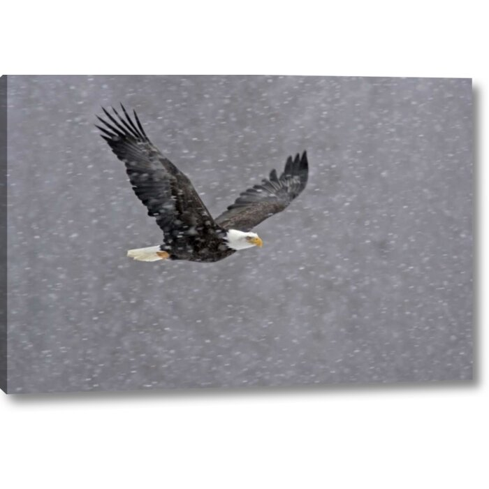 'AK, Chilkat Bald Eagle Flying Through Snowstorm' Photographic Print on  Wrapped Canvas