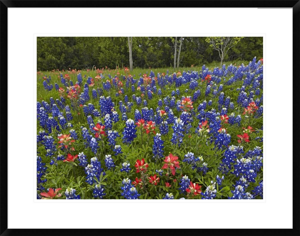 Global Gallery Bluebonnet And Paintbrush Meadow Cedar