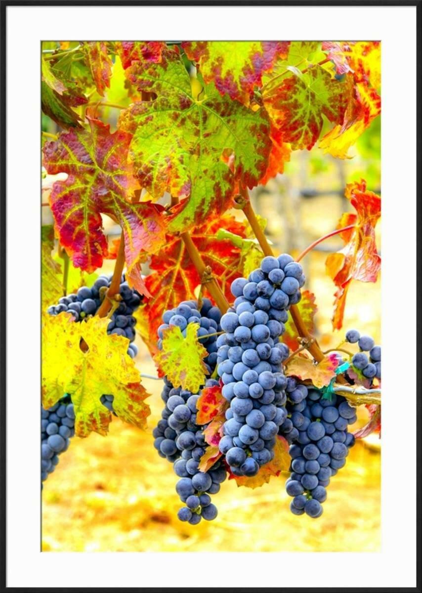 Winston Porter \'Cabernet Sauvignon Grapes Ready for Harvest ...