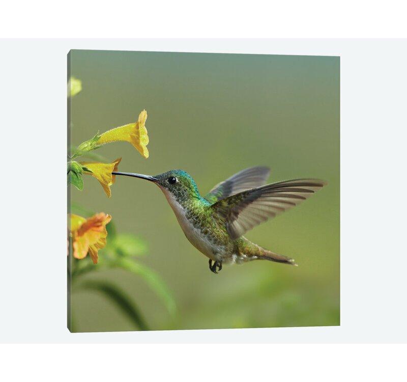 East Urban Home Andean Emerald Hummingbird Feeding On Flower Ecuador Graphic Art Print On Canvas Wayfair