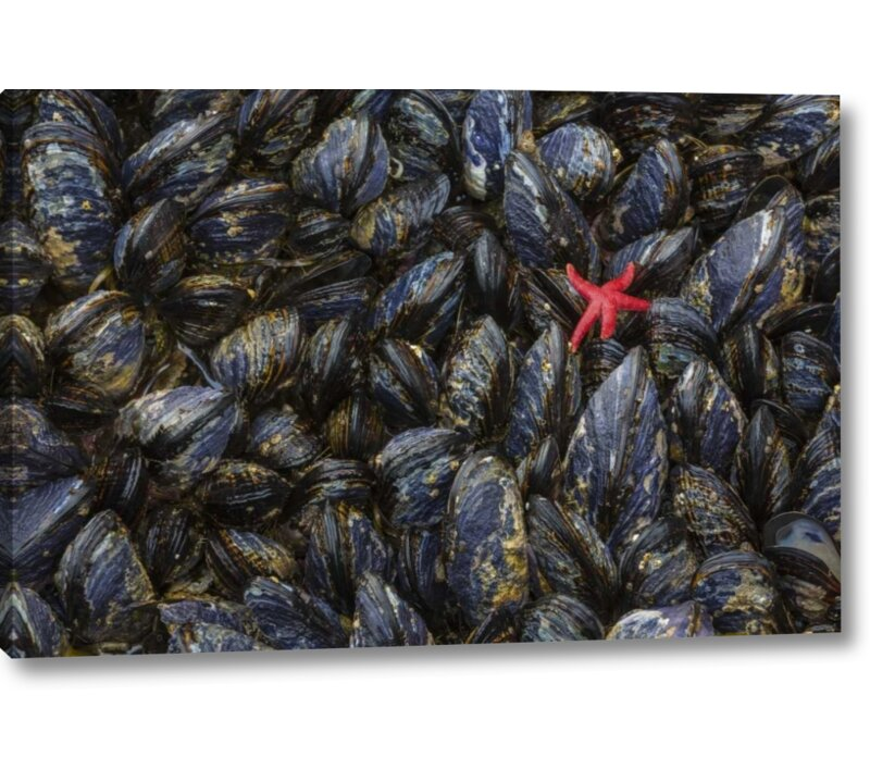 Breakwater Bay Wa Mussels And Red Sea Star At Tide Pools Photographic Print On Wrapped Canvas Wayfair