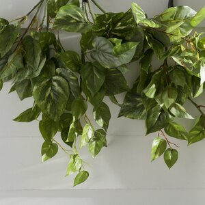 Pothos Hanging Bush Ivy Plant