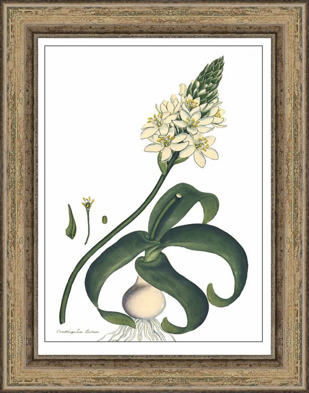 Melissa Van Hise Andrews\' Ornothogalum by Choate Design Framed ...