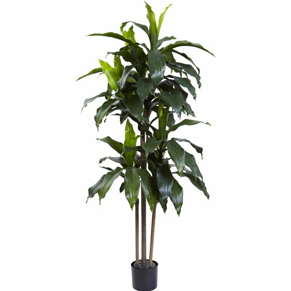 Dracaena Plant In Planter Amp Reviews Allmodern