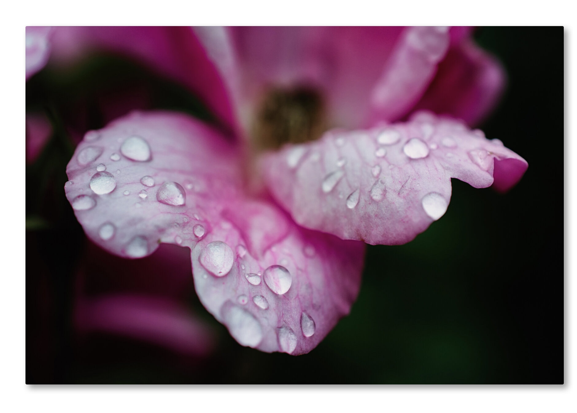 Trademark Art Raindrops On Wild Rose Color Photographic Print On Wrapped Canvas Wayfair