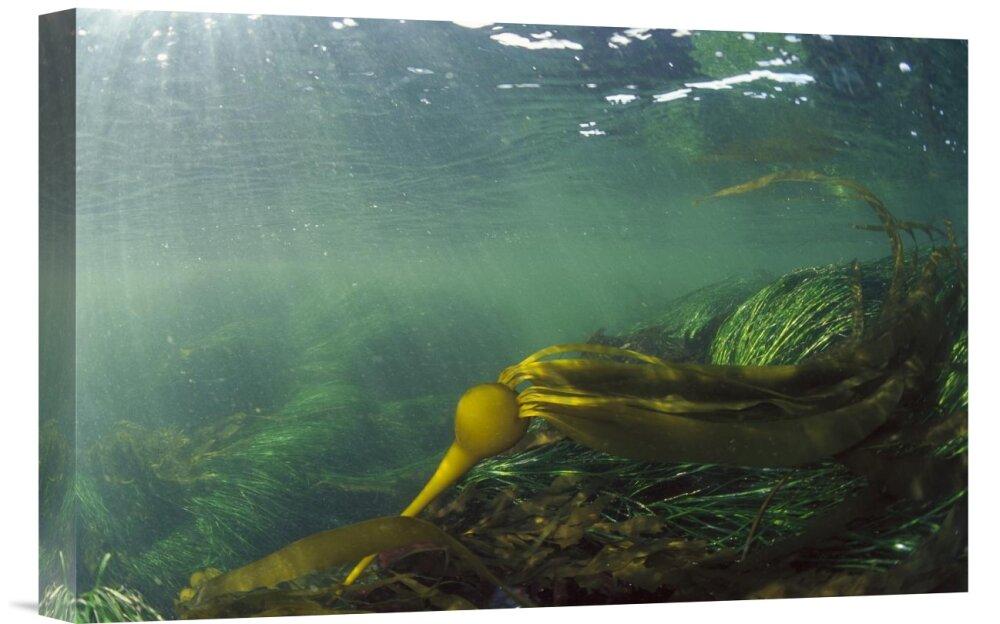 East Urban Home Bull Kelp Underwater Clayoquot Sound