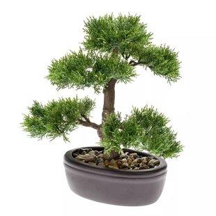 Desktop Cedar Bonsai Tree In Pot Image