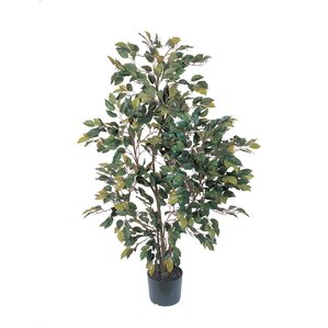 ficus tree in pot - Ficus Trees