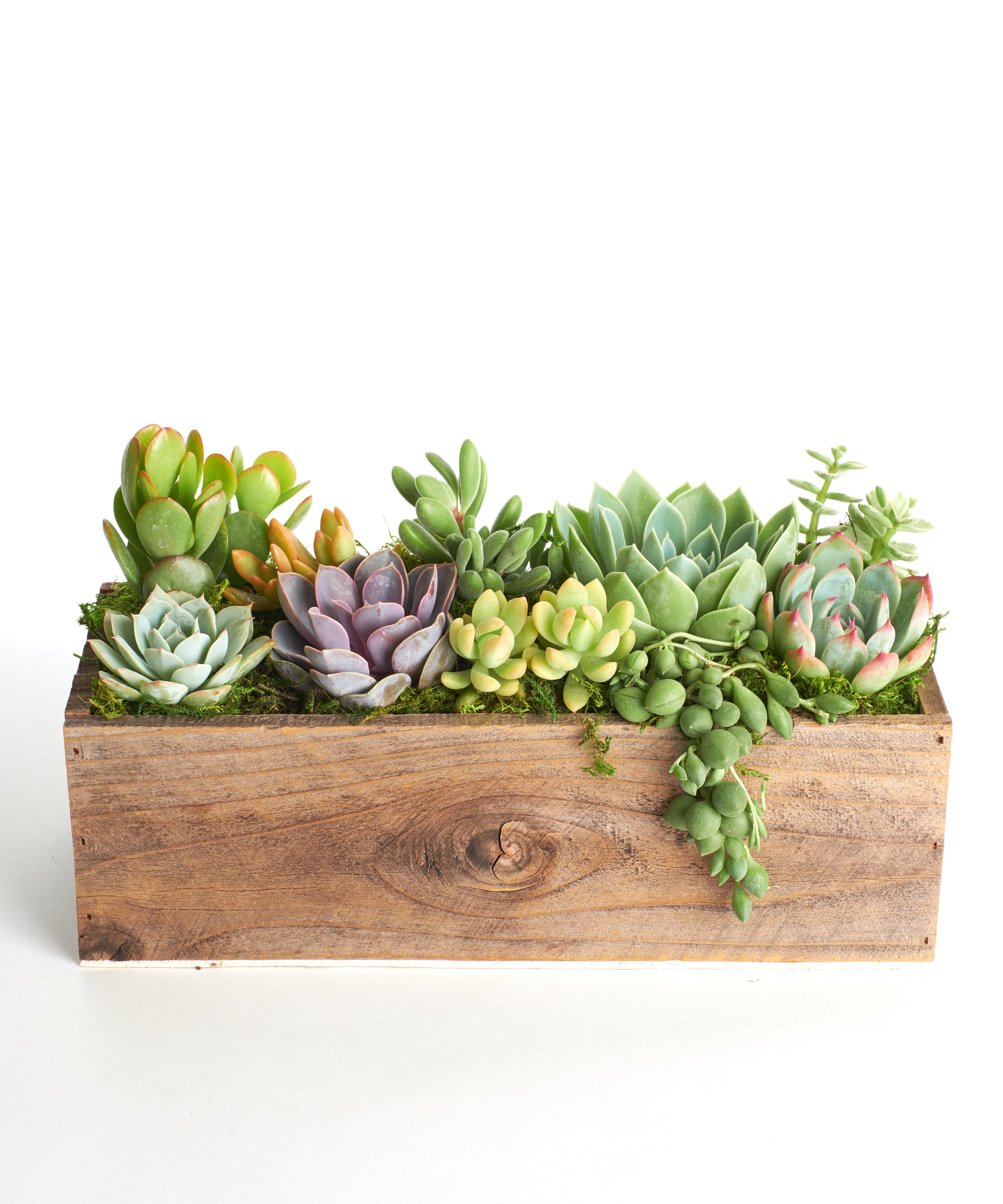 Gracie Oaks Natural Wood Farmhouse Live Succulent Plant In Planter Reviews Wayfair
