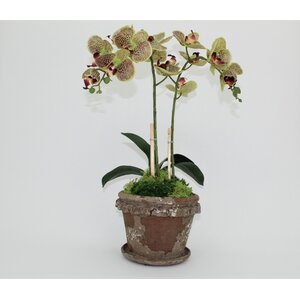 Double Clay Old World Orchid Flower in Pot