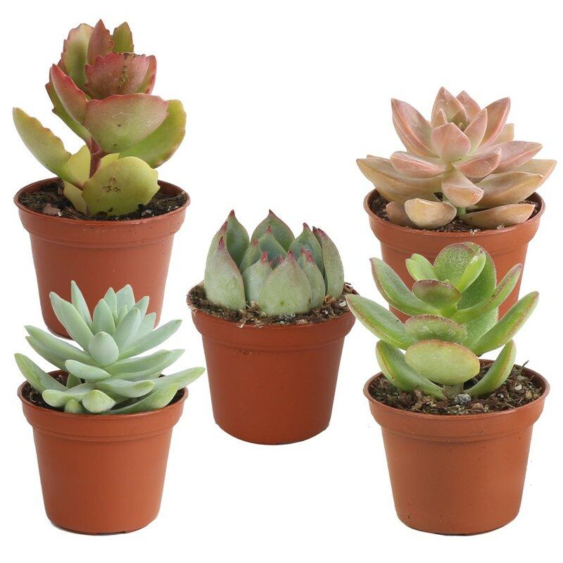 Costa Farms 5 Live Succulent In Pot Set Reviews Wayfair