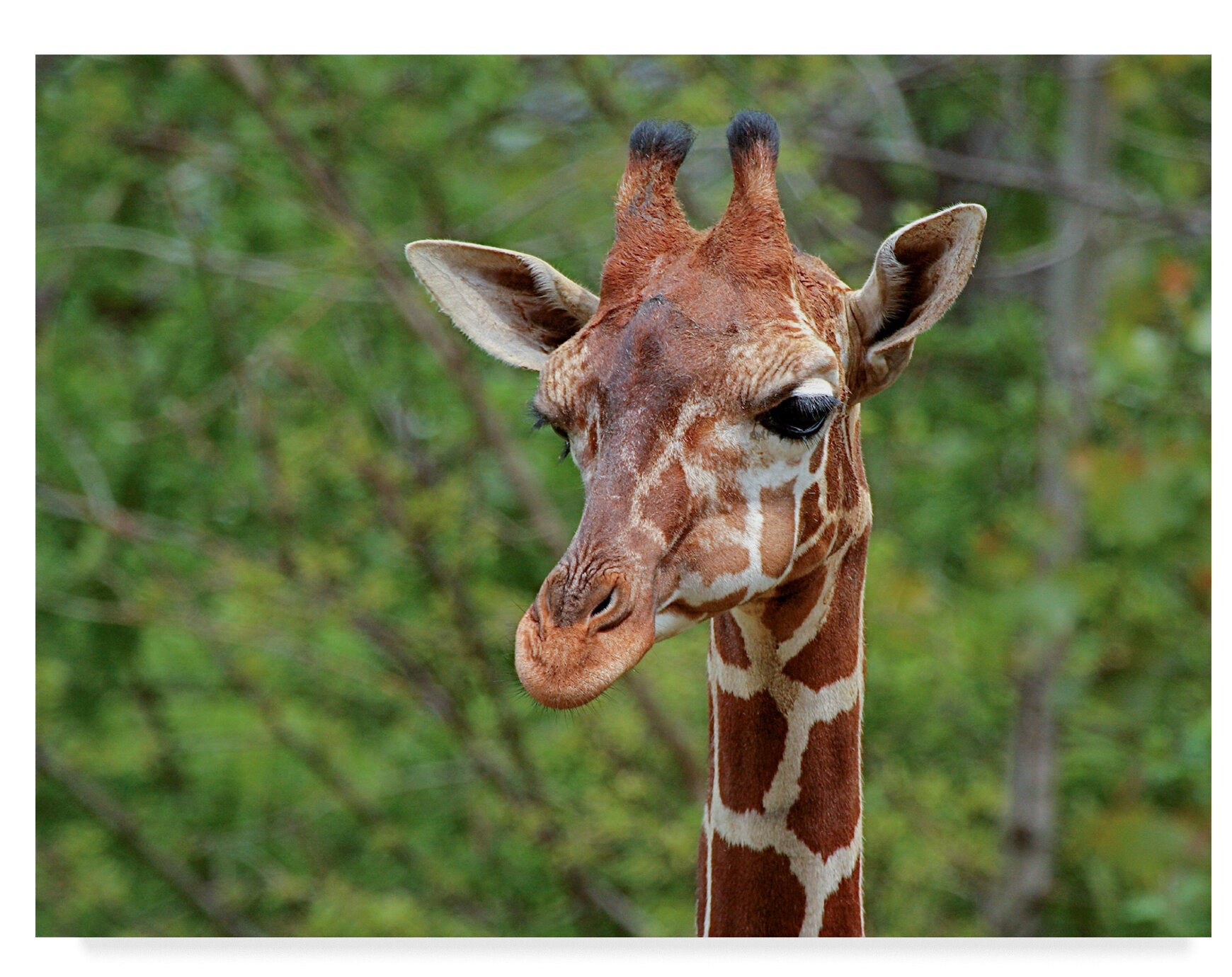 - Trademark Art 'Giraffe Portraits' Photographic Print On Wrapped