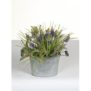 Muscari Plant In Pot Image