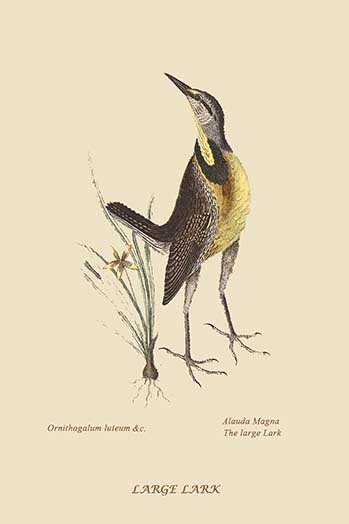 Buyenlarge Large Lark By Catesby Catesby Graphic Art Print Wayfair