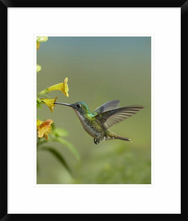 Global Gallery Andean Emerald Hummingbird Feeding On A Flower Ecuador By Tim Fitzharris Framed Photographic Print Wayfair