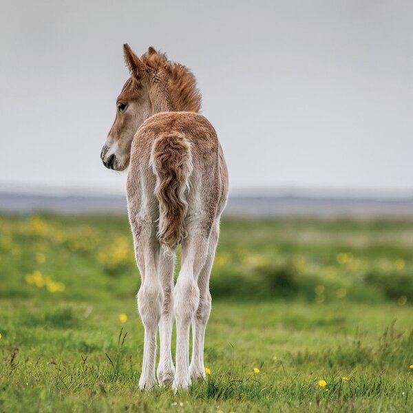 East Urban Home Purebred Icelandic Foal I Photographic Print On Wrapped Canvas Wayfair